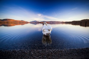 After making the last photo, I decided to go for a walk along the shore of Loch Lomond, since it was such a lovely morning. I wasn&#8217;t really thinking of taking anymore shots, and then I saw two rather friendly swans &#8211; I thought this one seemed to be setting off for Ben Lomond in the distance, I liked the reflection and the ripples were the only ones I saw on an otherwise perfectly still morning.